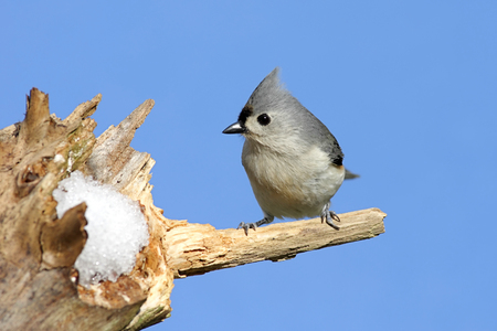 Tufted Titmouse on Perch
